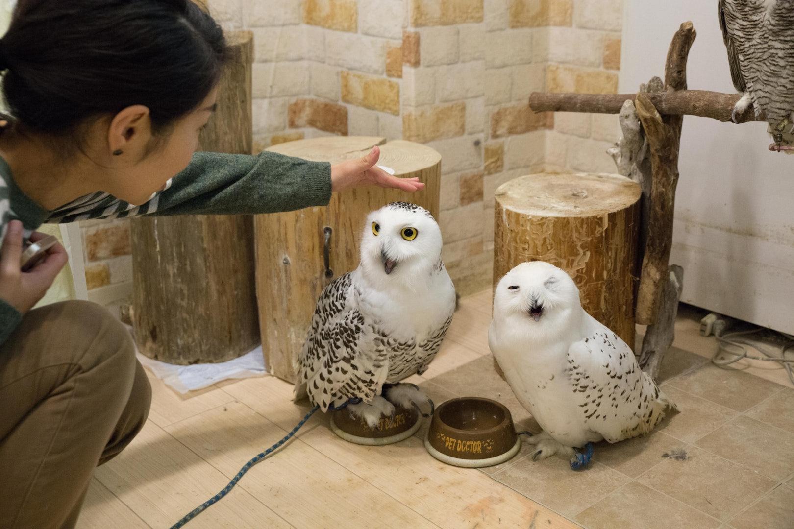 a man petting two white owls at Ikefukuro Tokyo