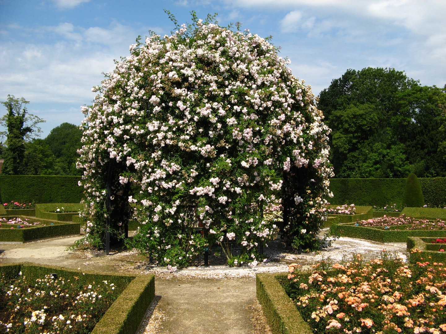 a giant bush of white roses at the Coloma Rose Garden
