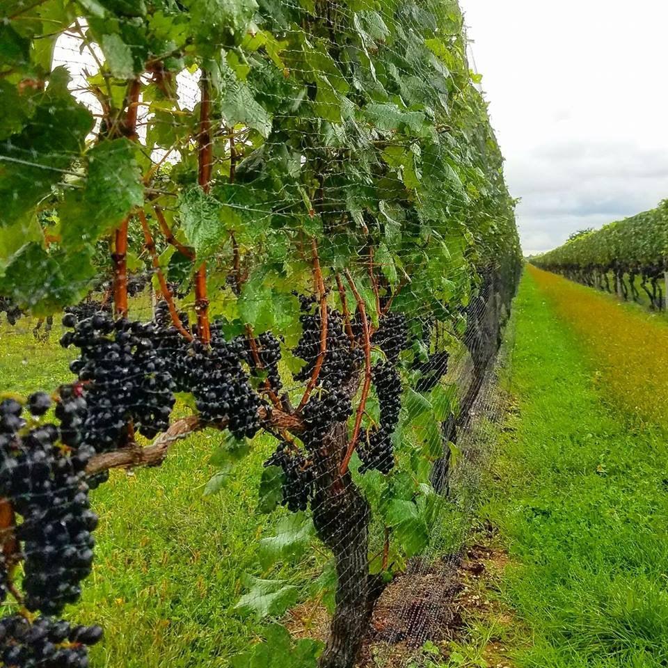 North Folk Wine Vineyard