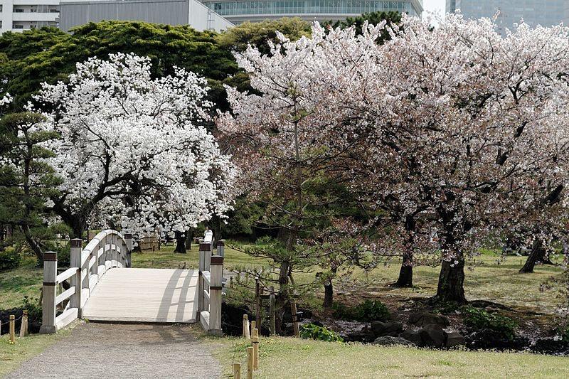 cherry blossoms at Hamarikyu Gardens
