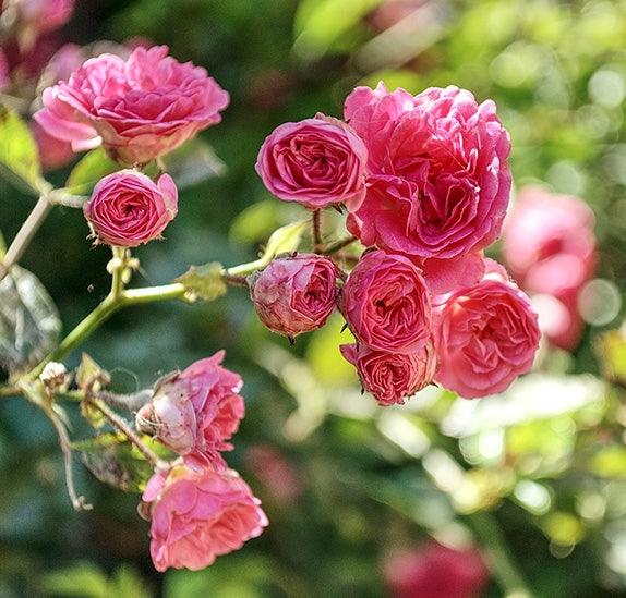 pink roses at Laguna Fiorita