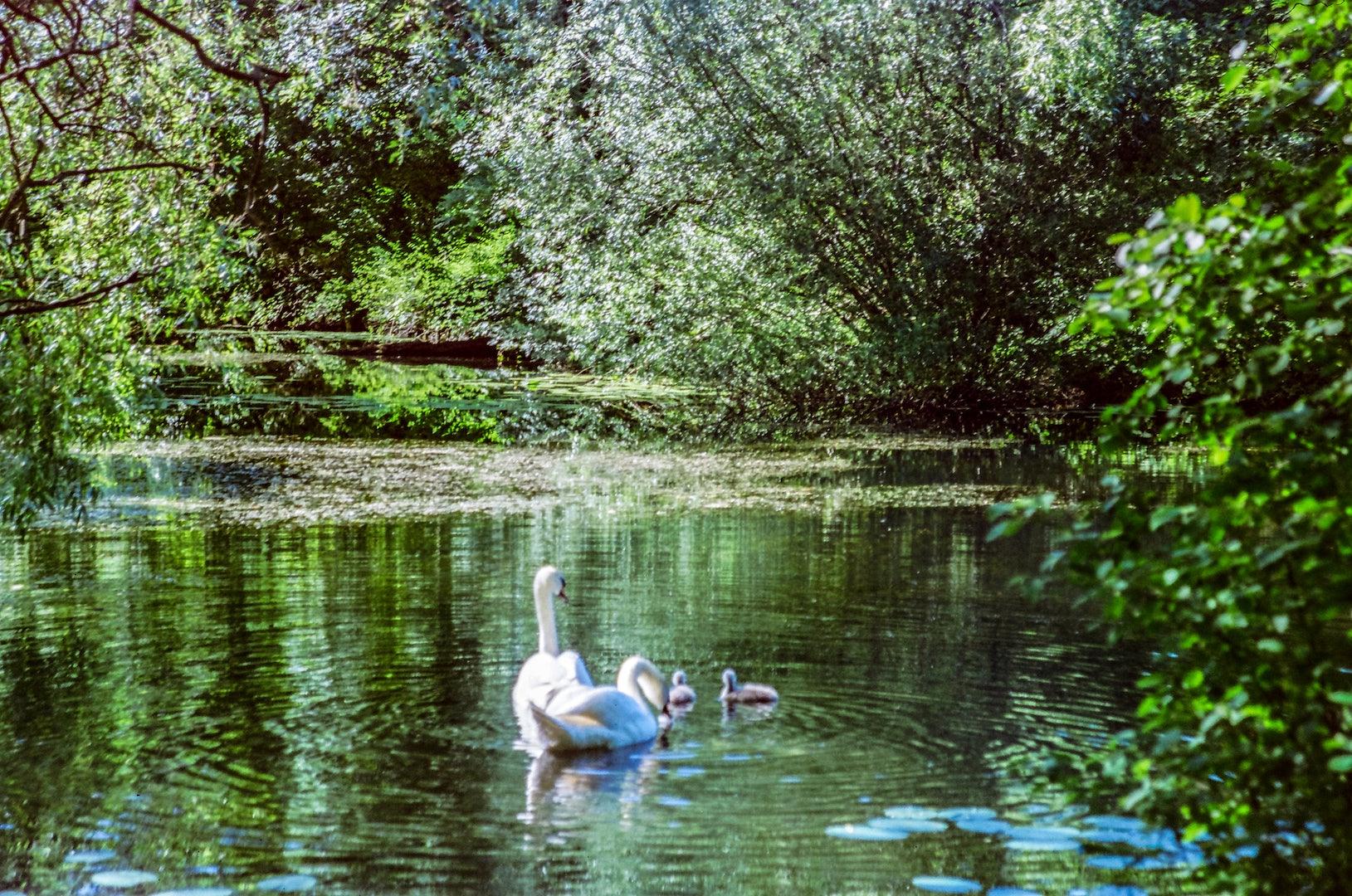 a swan at Østre Anlæg Park