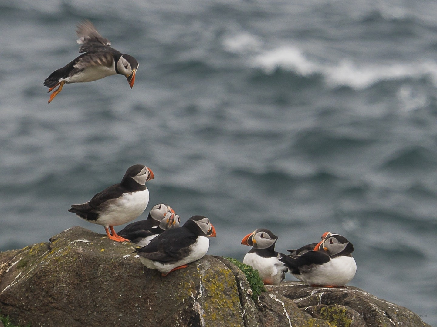 puffins at the Isle of May in Scotland