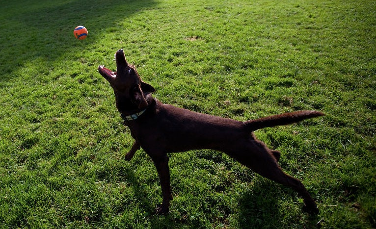 a brown labrador playing with a ball in the park