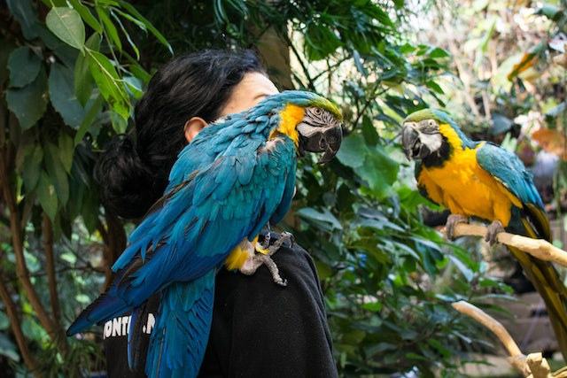 a blue and yellow parrot on the shoulder of a woman