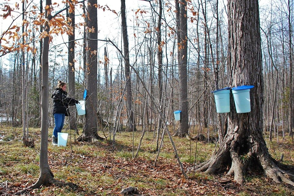a person collection maple sap at the Mountsberg Conservation Area